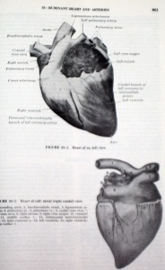 The Anatomy of the Domestic Animals Volume 1 Sisson and Grossman anatomical photo diagrams of animal heart