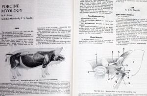 Muscles of swine + a pig's ear from The Anatomy of the Domestic Animals Volume 2 Sisson and Grossman