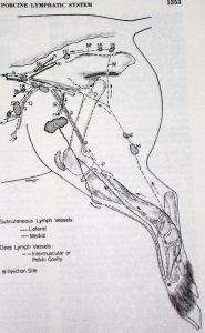 Lymphatic system lymph nodes and lymphatics - lymph vessels of the pig from Veterinary Anatomy textbook