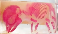 Real Pig Fetus 6 wks Stage - Preserved with Developing Bones Stained Red - Mounted Biology/Natural History/Medical Teaching Specimen for Sale